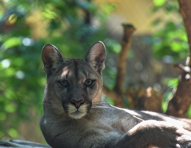 Puma concolor  /  Szeged Wildlife Park