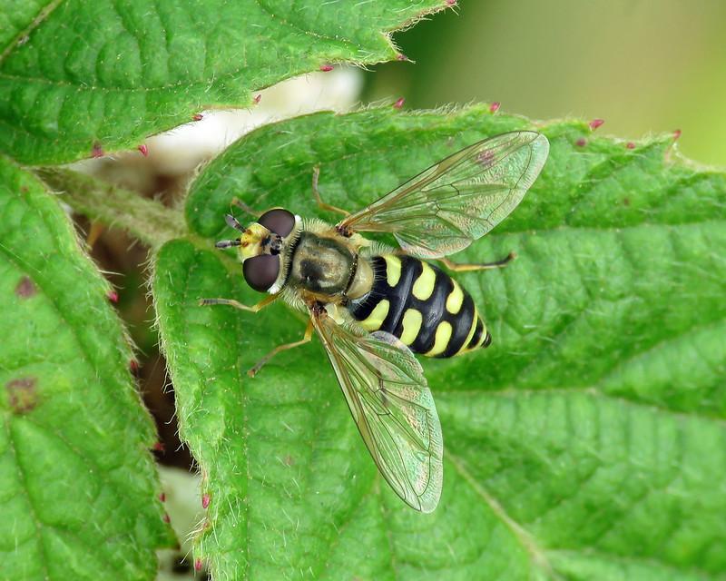 Eupeodes corollae