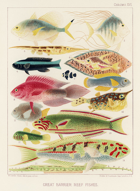 Great Barrier Reef Fishes from The Great Barrier Reef of Australia (1893) by William Saville-Kent (1845-1908). Digitally enhanced from our own original edition.Fig 1: Fringe-finned Trevally, Caranx ridiatus, MacLeayFig 2: Dismond Trvally, Caranx Gallus, L