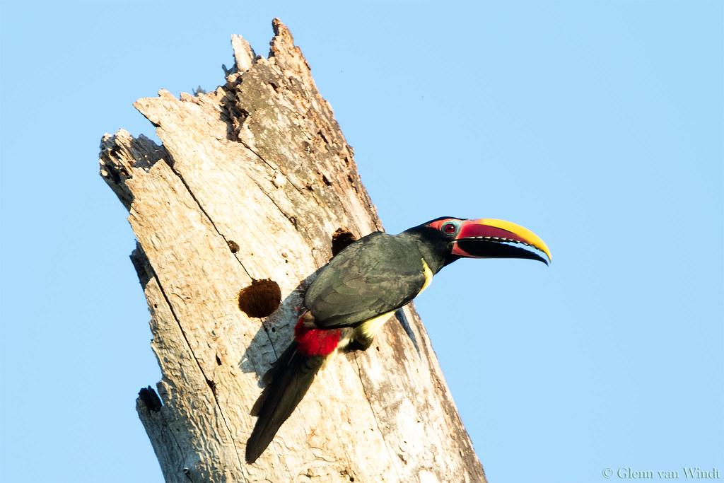 Male Aracari...