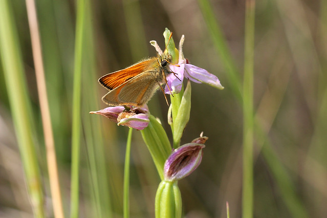 Small Skipper on Bee Orchid