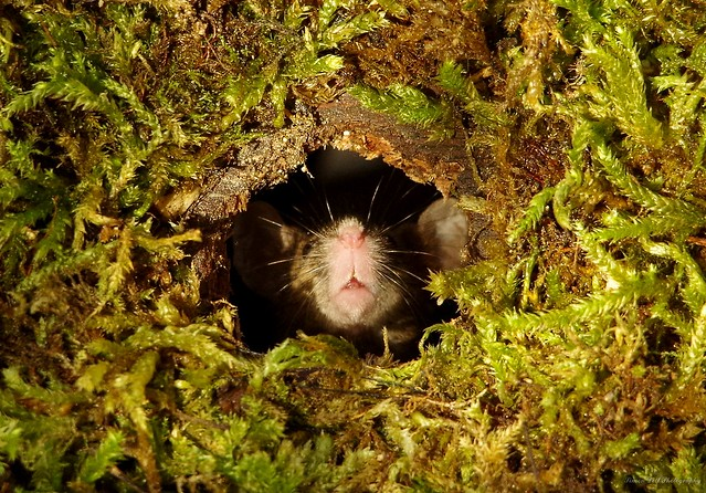 mouse in mossy hole  (2)