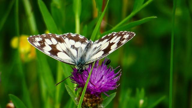 Butterfly - 5367