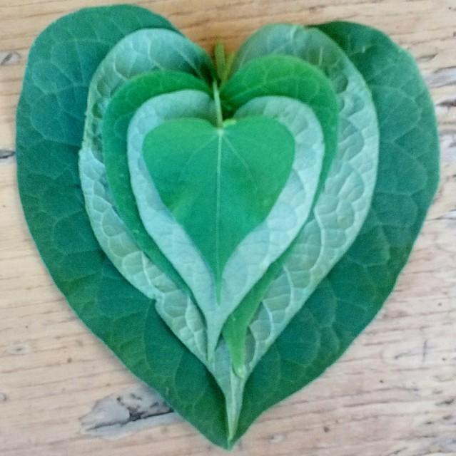 Heart shape leaves!