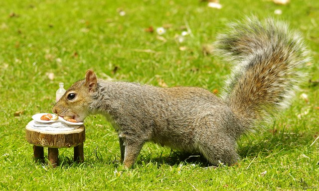 grey squirrel with picnic table  (9)