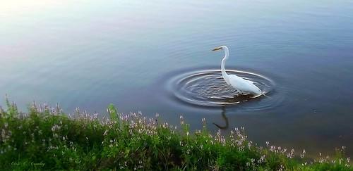 egretmoments greategret pond lake reedcanalpark water animal bird scenic
