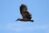 Scopus umbretta (Hamerkop) - Entebbe Uganda by Nick Dean1