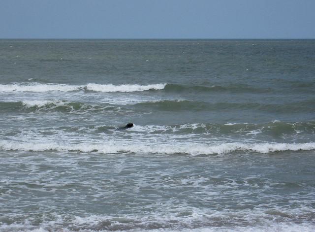 Seal in the sea near Winterton-on-Sea, Norfolk