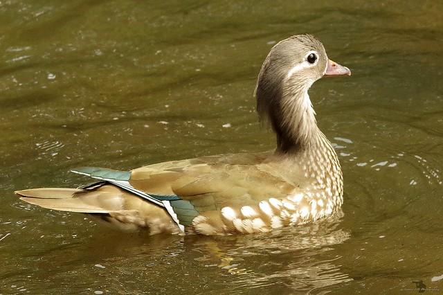 female manderin duck (2)