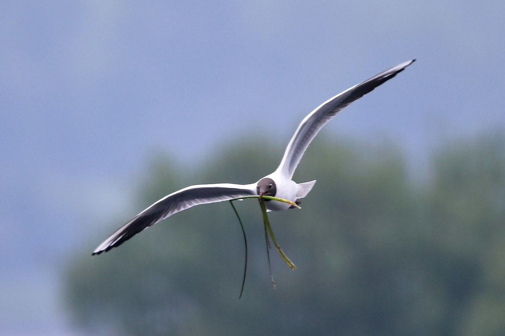Time to build that nest - Black Headed Seagull | Taken at Th