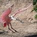Roseate Spoonbill April18-0228 by justl.karen