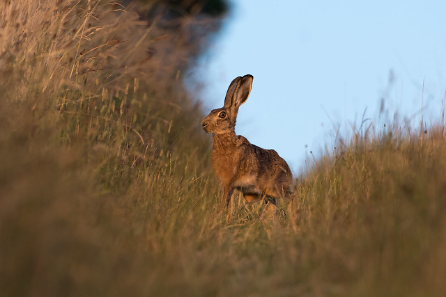Hare today......150718_10-2.jpg