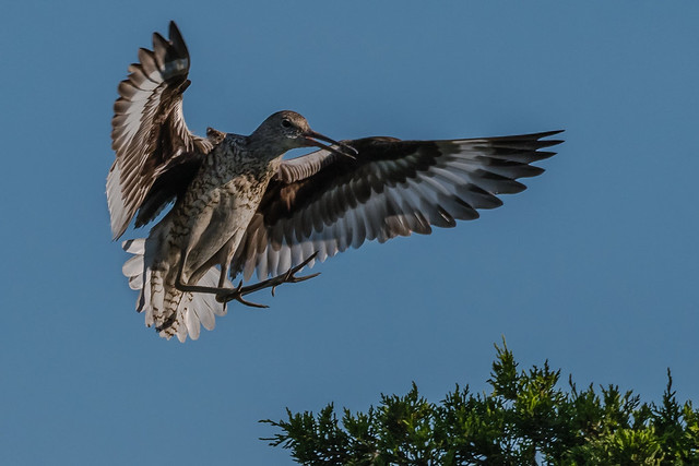 Willet coming in for a landing (Explored, Thank You)