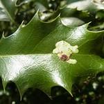 Blattmine der Ilexminierfliege (Holly Leaf Miner, Phytomyza ilicis)