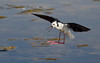 Black-winged Stilt - touchdown by patrickkavanagh