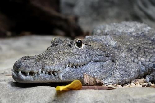 Morelet's Crocodile | by demeeschter