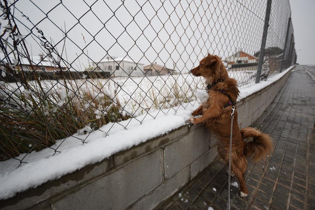 Laika jugant amb la neu
