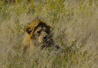 León emboscado