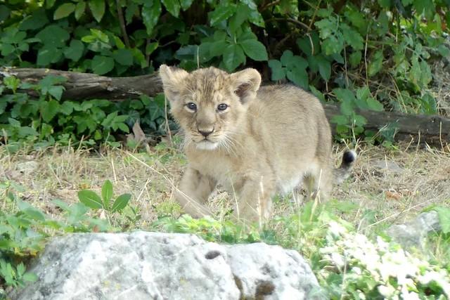 Asiatischer Löwe, Zoo Frankfurt
