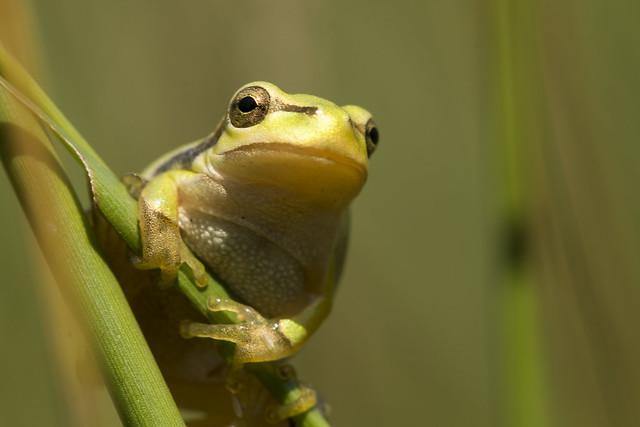Treefrog, Hyla arborea