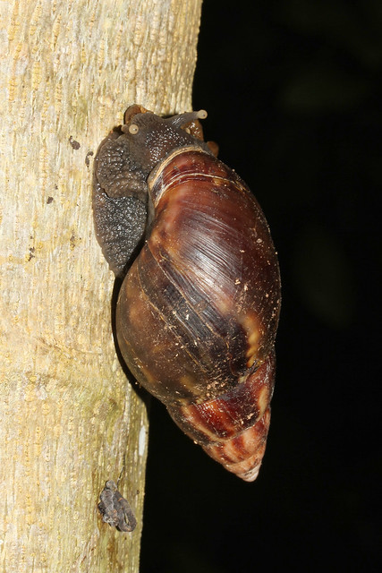 Achitina fulica (African Land Snail) - Seychelles,