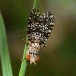 Gepunktete Hornfliege (Trypetoptera punctulata)