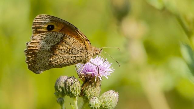 Butterfly - 5498