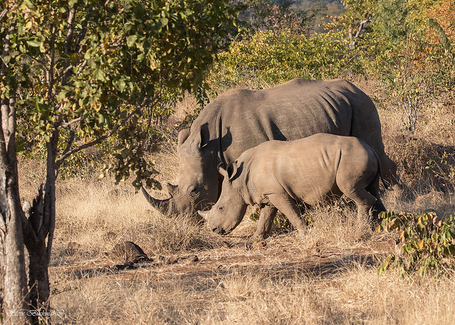 White Rhinoceros with baby