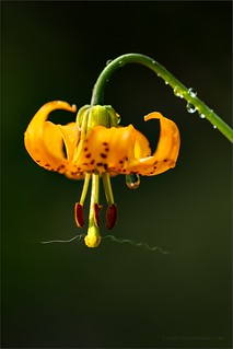 Tiger Lily | by TomGrubbe