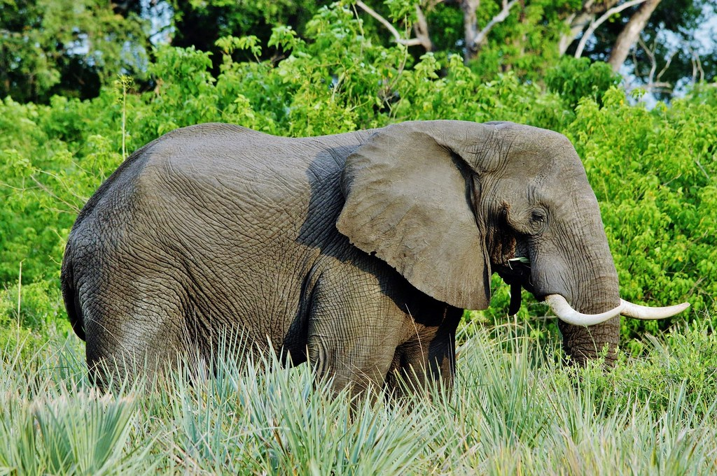 Elephant In The Tall Grass