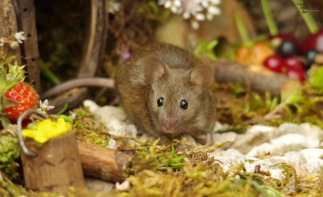 George the mouse in a log pile house (1)