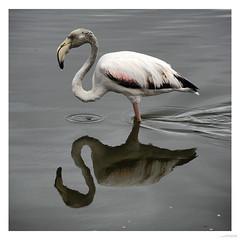 Flamingo near Walsvisbaai