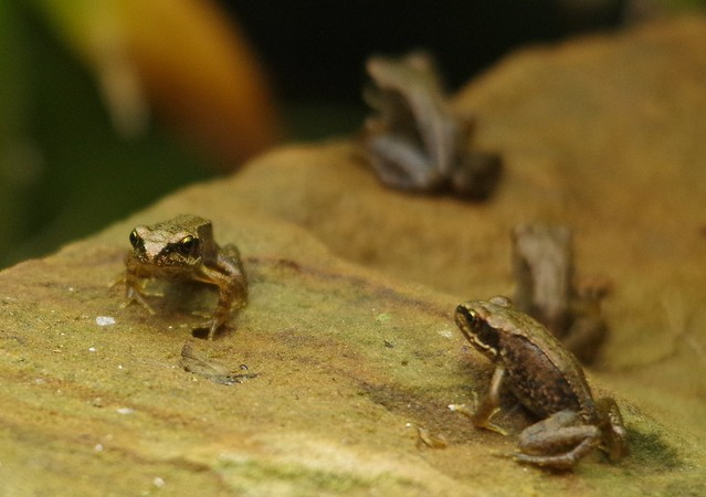 baby young frogs