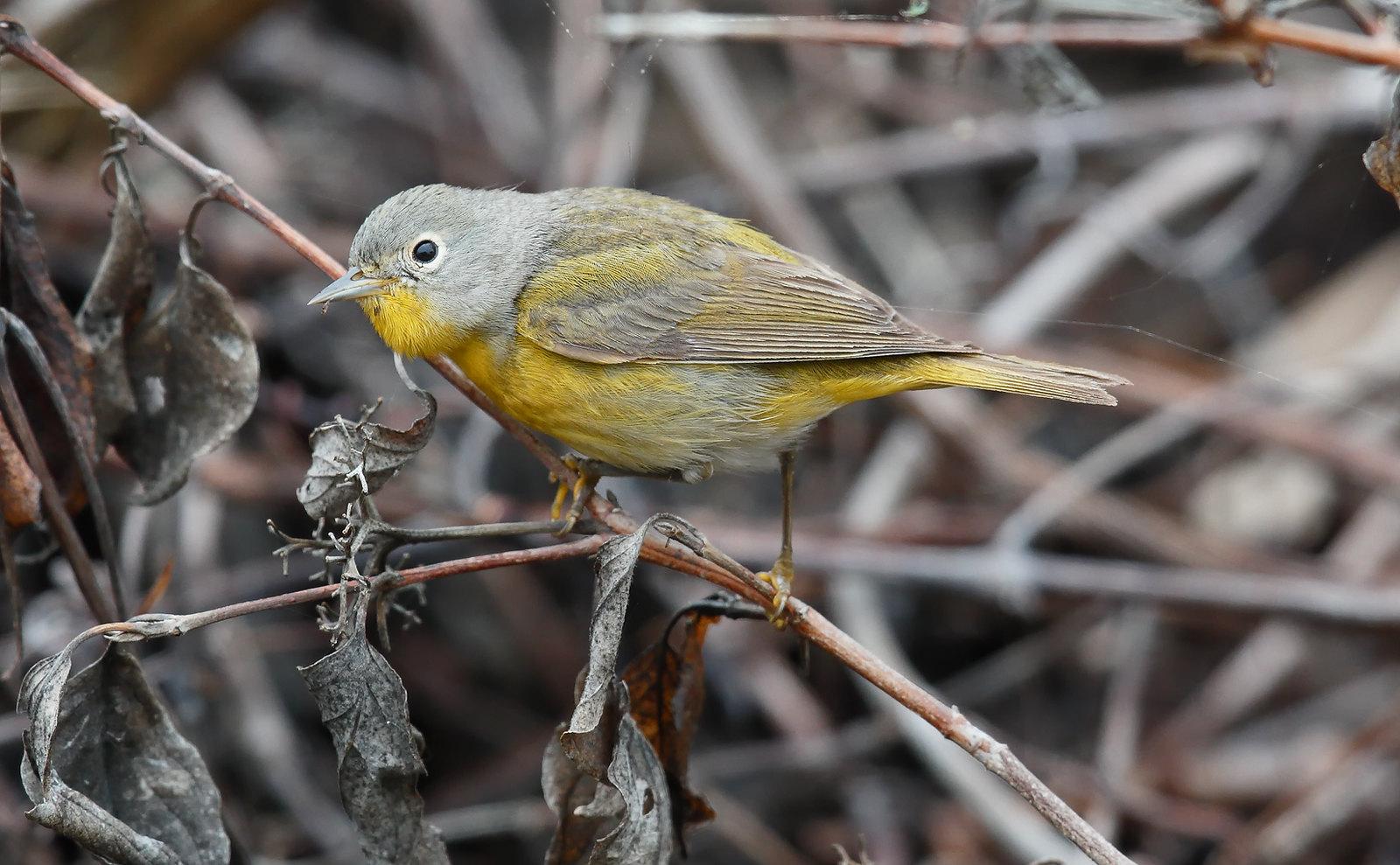 Nashville Warbler [male]