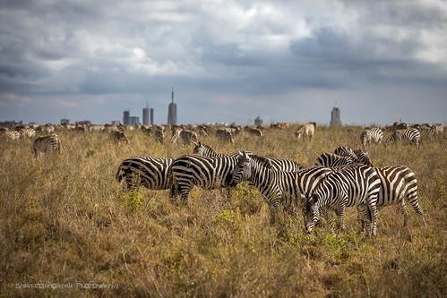 2017 africa kenya nairobi nairobinationalpark city outskirts zebra animal ngc 7dwf safari gidzinski gidzinska grainconnoisseur