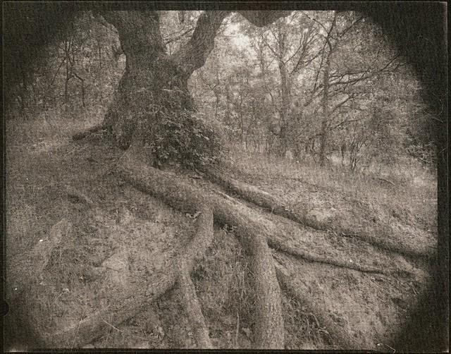Fave tree - salt print