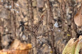 Daddy-long-legs spider (Smeringopus sp.) - DSC_6541