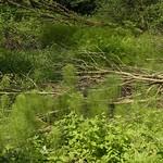 Ausgedehnter Bestand des Riesenschachtelhalms (Equisetum telmateia) im NSG Tippelsberg/Berger Mühle