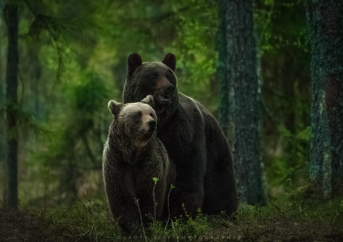 Bruine beer / Brown bear / Ours brun | by Gladys Klip