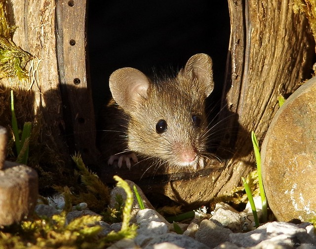 George the mouse in a log pile house (2)