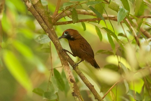 Fluffy-backed Babbler (Macronus ptilosus) | by David Bird Tan