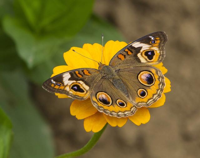 Buckeye (Junonia coenia)
