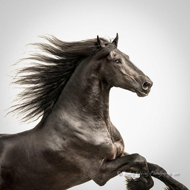 Friesian Stallion (1)