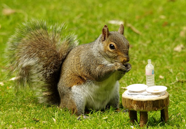 grey squirrel with picnic table  (5)