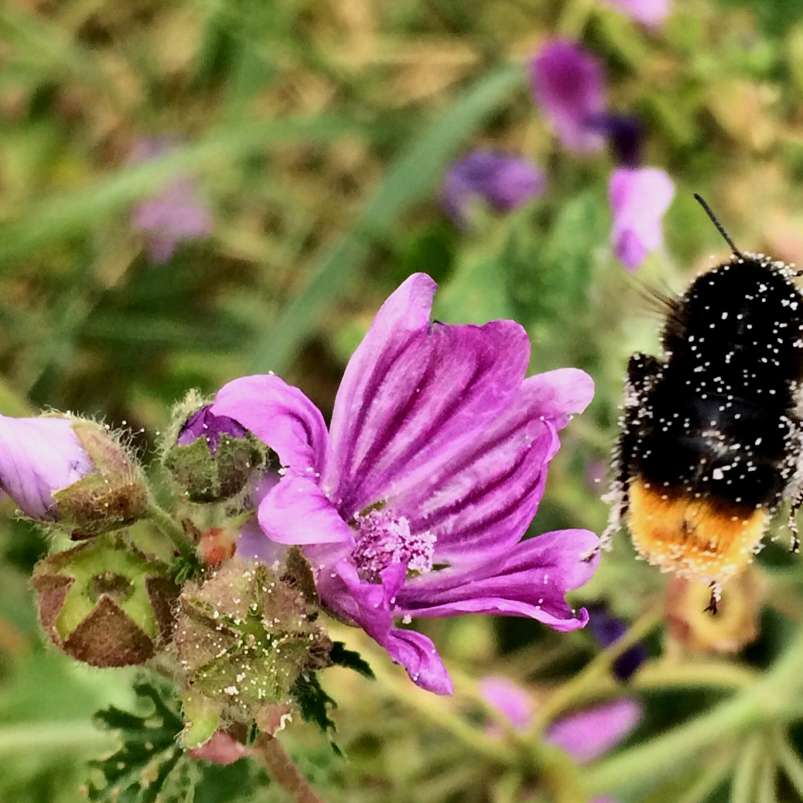 July 1, 2018: Southbourne to Chichester Pollen-covered bee flying away from a flower. #saveourbees