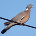 Common Wood-Pigeon - Photo (c) Mark Kilner, some rights reserved (CC BY-NC-SA)