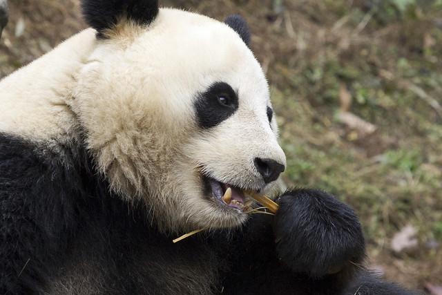 Giant panda eating, Dujiangyan Panda Base, Shiqiao (Qingchengshan), Dujiangyan, Sichuan, China