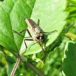 Tolmerus sp., Weibchen