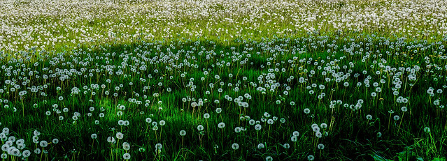 Perfect Dandelion Panorama