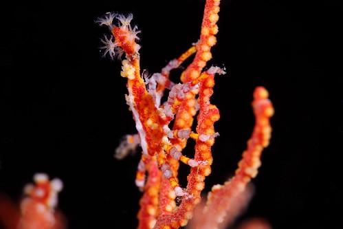 Xenocarcinus conicus